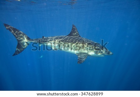 Great White shark while coming to you on deep blue ocean background #347628899