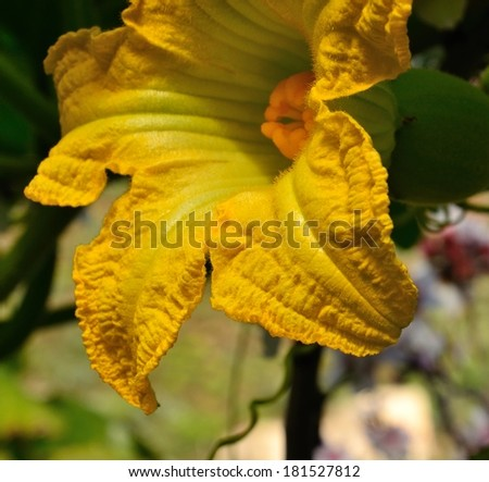 Great yellow flower of cucurbit in foreground showing all its splendor
