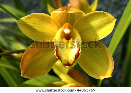 Great Yellow Orchid in green background. Amazing colors