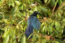 Greater Ani. Crotophaga major. Sani Island, Rio Napo, upper Amazon basin, Ecuador. 26 Dec. 2014