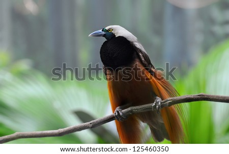 Greater Bird-of-paradise of New Guinea and Indonesia