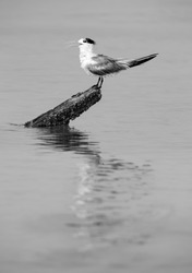 Greater Crested Tern at Busaiteen coast, Bahrain. A highkey image.