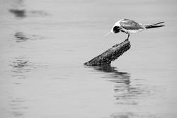 Greater Crested Tern preening at Busaiteen coast, Bahrain . A highkey image