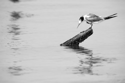 Greater Crested Tern preening perched on a wooden low at Busaiteen coast, Bahrain. A highkey image.