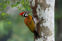 Greater flameback woodpecker (Chrysocolaptes guttacristatus) exploring and eating termites during rainy season.Woodpeckers looking for food inside the wood help pest control in nature.