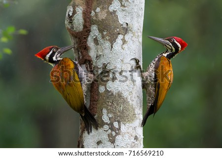 Greater flameback woodpecker or Large golden-backed woodpecker(Chrysocolaptes guttacristatus)exploring and eating termites.Two Woodpeckers looking for food inside the wood help pest control in nature.
