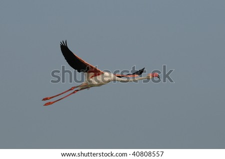 Greater Flamingo after take off