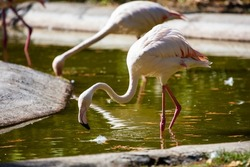 Greater flamingo. Bird and birds. Water world and fauna. Wildlife and zoology. Nature and animal photography.