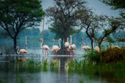 Greater flamingo flock in natural habitat in a early morning hour during monsoon season. A beautiful nature paining created by these flamingos at keoladeo national park, bharatpur