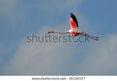 greater flamingo (Phoenicopterus roseus), flying high