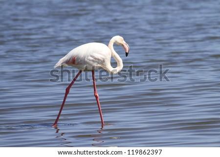 Greater flamingo Phoenicopterus ruber #119862397