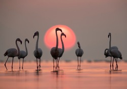 Greater Flamingos and sunrise with dramatic hue in the sky and water, Asker coast, Bahrain