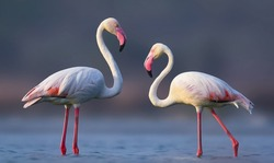 Greater flamingos are famous pink birds can be found in warm, watery regions on many continents. They favor environments like estuaries and saline or alkaline lakes.