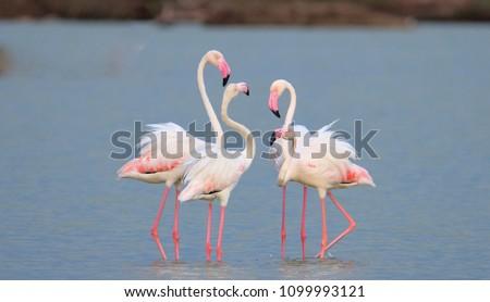 Stock Photo Greater Flamingos Bird