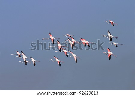 Greater Flamingos in flight over Dubai Creek in the United Arab Emirates.