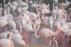 Greater flamingos (Phoenicopterus roseus) in the 'Ras Al Khor