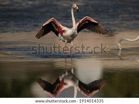 Greater Flamingos raising its wings while feeding at Eker creek in the morning, Bahrain  Stockfoto ©