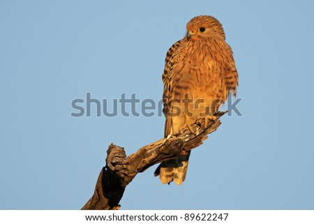 Greater kestrel (Falco rupicoloides) perched on a branch, Kalahari, South Africa