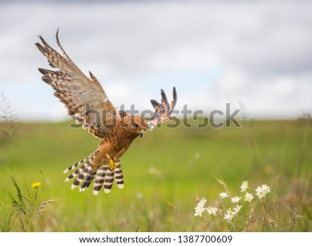 Greater kestrel hovering above flowers and grass Stock fotó ©