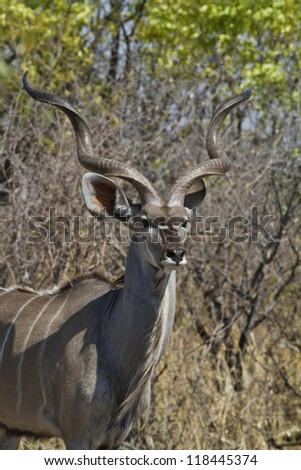 Greater Kudu looks for enemies