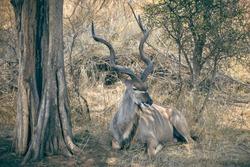 Greater kudu male antilope with big impressive horns resting in the bush, African wildlife, Kruger national park, South Africa