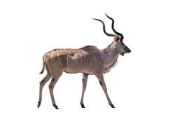 Greater kudu South afrca animal Isolate on white Background