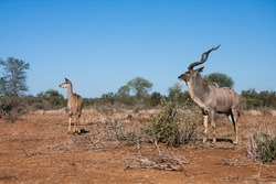 Greater Kudu (Tragelaphus strepsiceros) couple pair male and female looking alert in the bushveld in Kruger National Park, South Africa