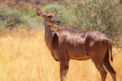 Greater kudu ( woodland antelope) standing in African bushes.