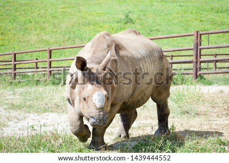 Greater One-Horned Asian Rhino in pin at The Wilds in Cumberland Ohio. Powerful rhinoceros with single horn trotting around cage in captivity. Endangered species conservation effort. Guided safari
