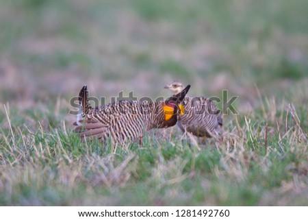Greater Prairie Chickens (Tympanuchus cupido) male booming displaying near female on lek, Prairie Ridge State Natural Area, Jasper, Illinois, USA. #1281492760