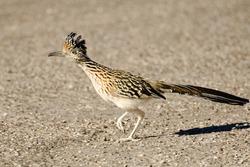 Greater Roadrunner Bird Running, Arizona, USA