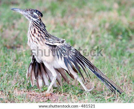Greater Roadrunner (Geococcyx californianus) stretching.  Shot at Buchanan Dam, Texas.