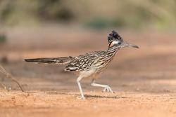Greater Roadrunner in Texas Desert