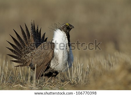 Greater Sage Grouse performing mating display on a lek