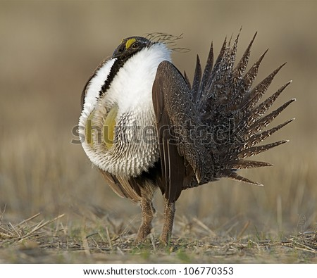 Greater Sage Grouse standing upright during mating display / posturing