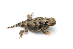 Greater Short-horned Lizard isolated on white background