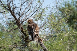 Greater spotted eagle or spotted eagle or Clanga clanga portrait with a spiny tailed lizard kill sitting on tree branch with blue sky in background at tal chhapar sanctuary rajasthan India