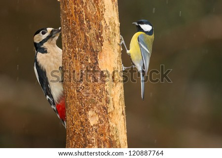 Greater spotted woodpecker, Dendrocopos major, on a tree with a great tit