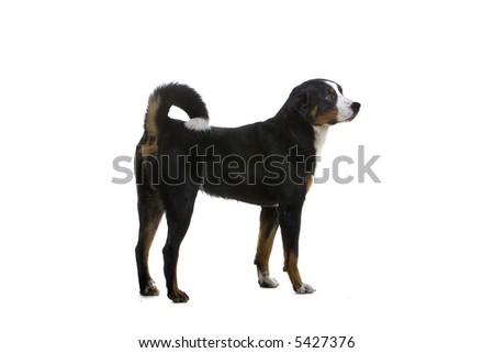 Greater Swiss Mountain Dog isolated on a white background