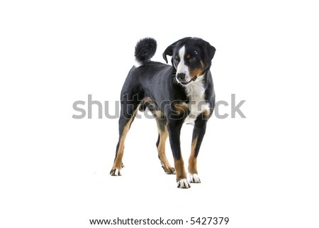 Greater Swiss Mountain Dog standing and looking at the ground