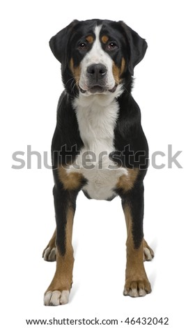 Greater Swiss Mountain Dog, 2 years old, standing in front of white background