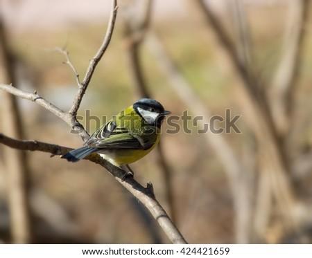 greater titmouse bird sitting...