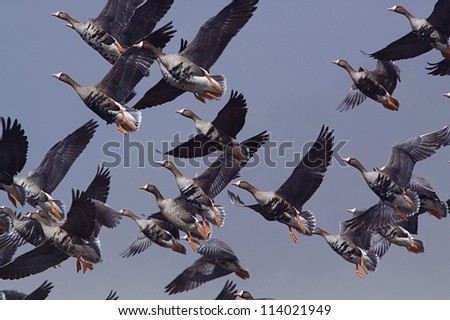 Greater White-fronted Geese in flight against a blue sky background; goose hunting on the Klamath Falls Wildlife Refuge, on the California / Oregon border