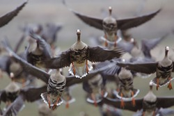 Greater White-fronted Geese in flight, taking off on the flush; goose hunting on the Klamath Falls Wildlife Refuge, on the California / Oregon border