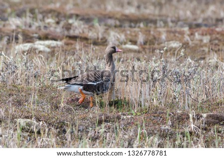 Greater White-fronted Goose (Anser albifrons) in Barents Sea coastal area, Timan tundra, Nenets Autonomous Okrug, Arkhangelsk Region, Russia