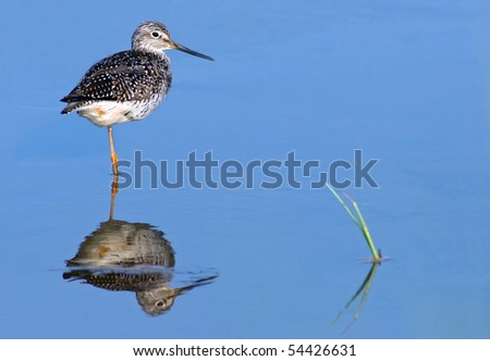 Greater Yellowlegs (Tringa melanoleuca) in blue water with reflection.