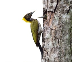 Greater Yellownape, Yellow-naped Woodpecker, picus flavinucha, bird of Thailand, feeding its chicks, isolated on white background