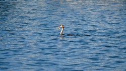 Grebe duck with fish in its beak on the water surface
