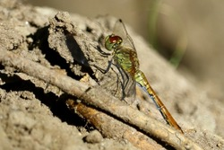 Gree dragonfly rest on the tree insect macro