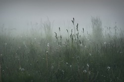 Gree forest lawn (meadow, field) in a thick white fog at sunset. Plants, herbs, wildflowers. Picturesque scenery. Idyllic rural landscape. Pure nature, environment, ecology